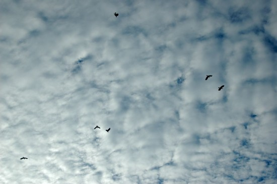 Migrating Crows