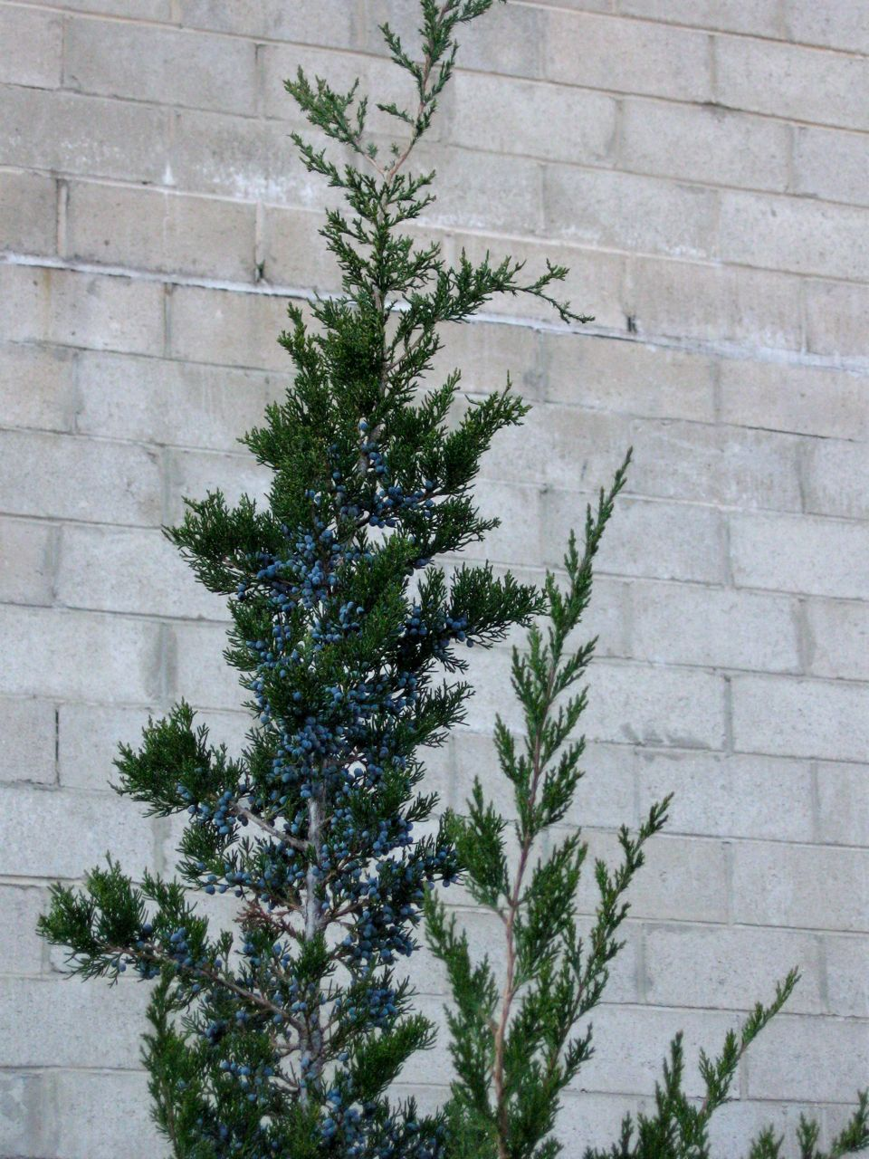 When Should I Prune Juniper Trees