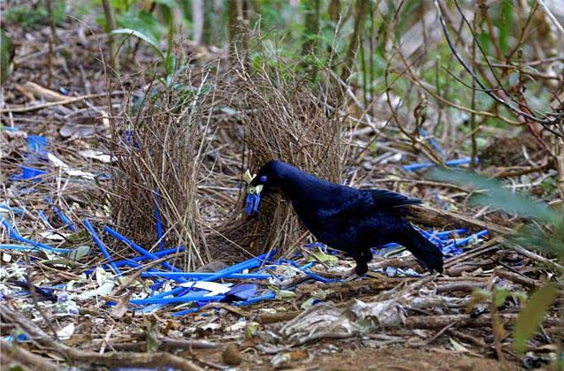 A bowerbird building his nest (Photo via duskyswondersite)