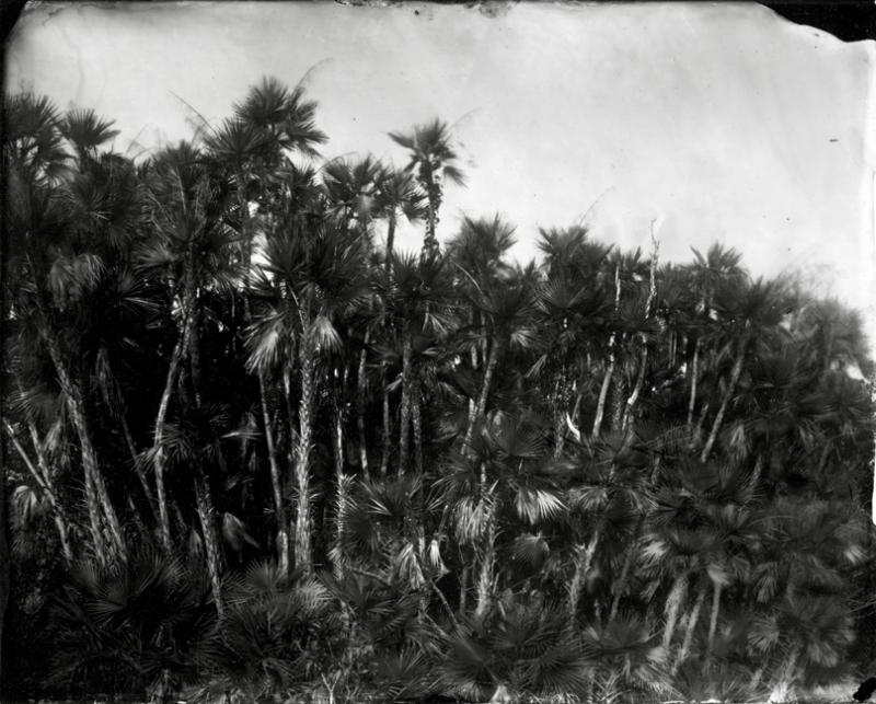Lisa Elmaleh, Paurotis Palms, Silver Gelatin Print, 2010